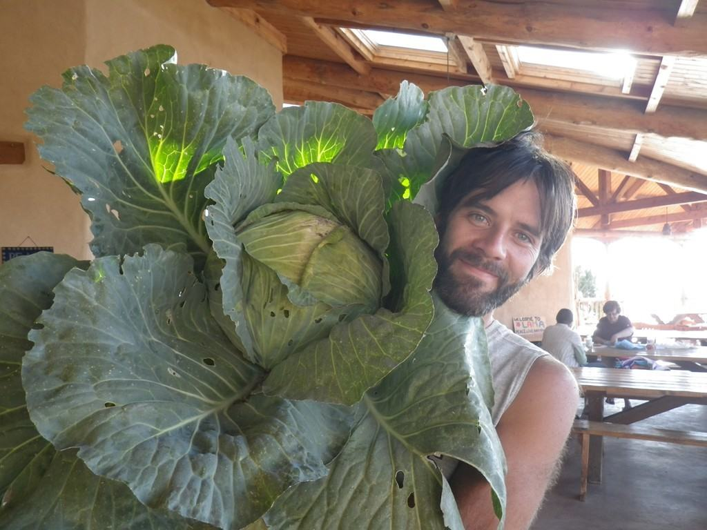 Cabbage harvested from the garden